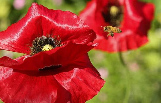 abeille-fleur-jardin