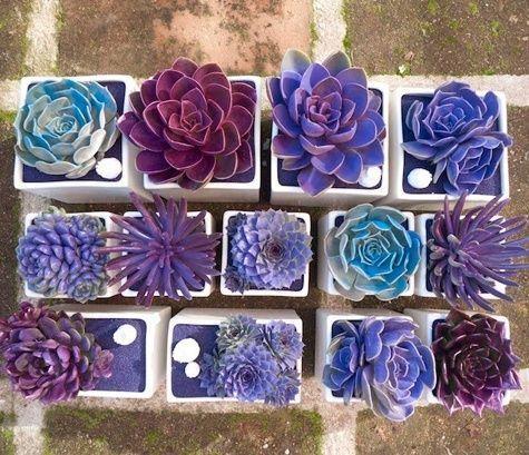Succulentes colorées en violet sur une terrasse