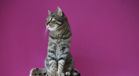 Chat tigré assis sur un arbre à chat et regardant fièrement sur sa droite